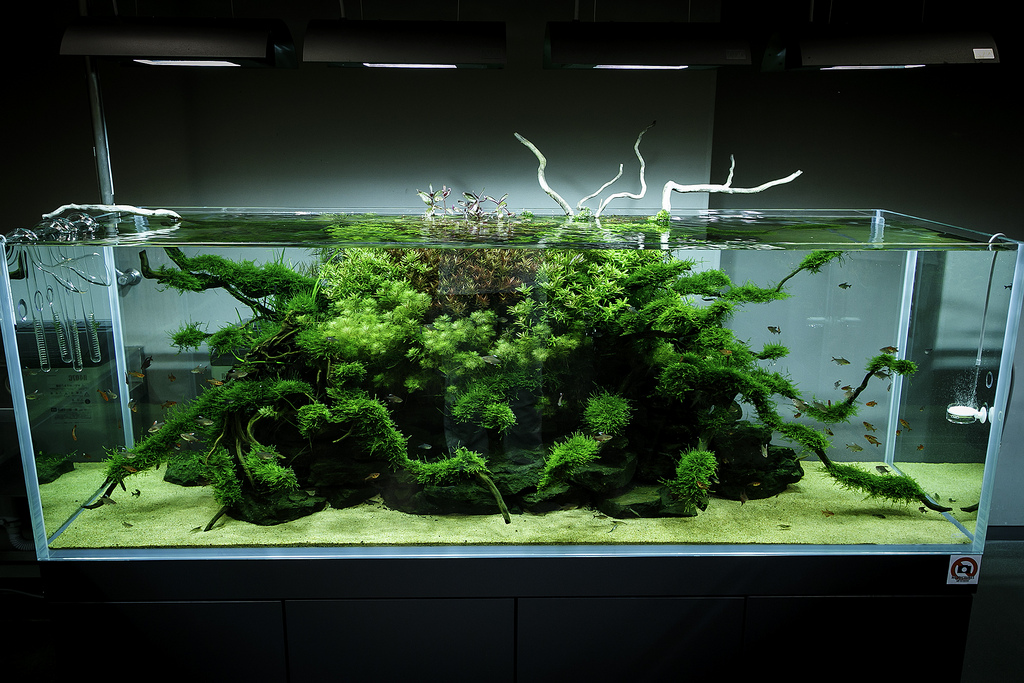 Tips for growing moss really beautiful moss uk aquatic plant society - Gallery aquascape ...
