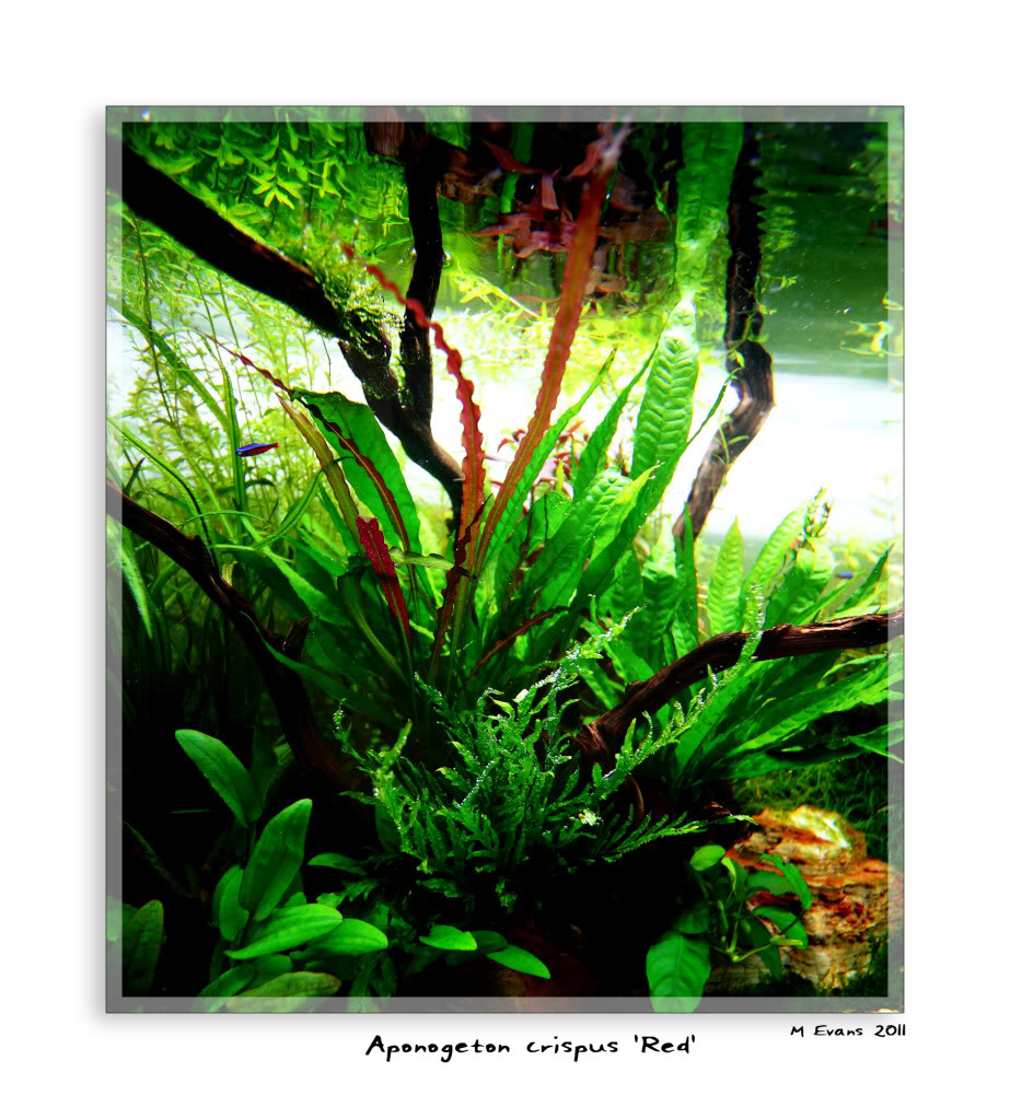 aponogeten-crispus-red.jpg