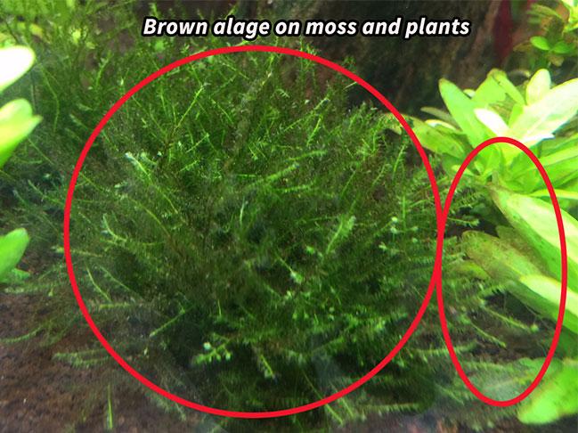 Is this Diatom algae? :(   UK Aquatic Plant Society