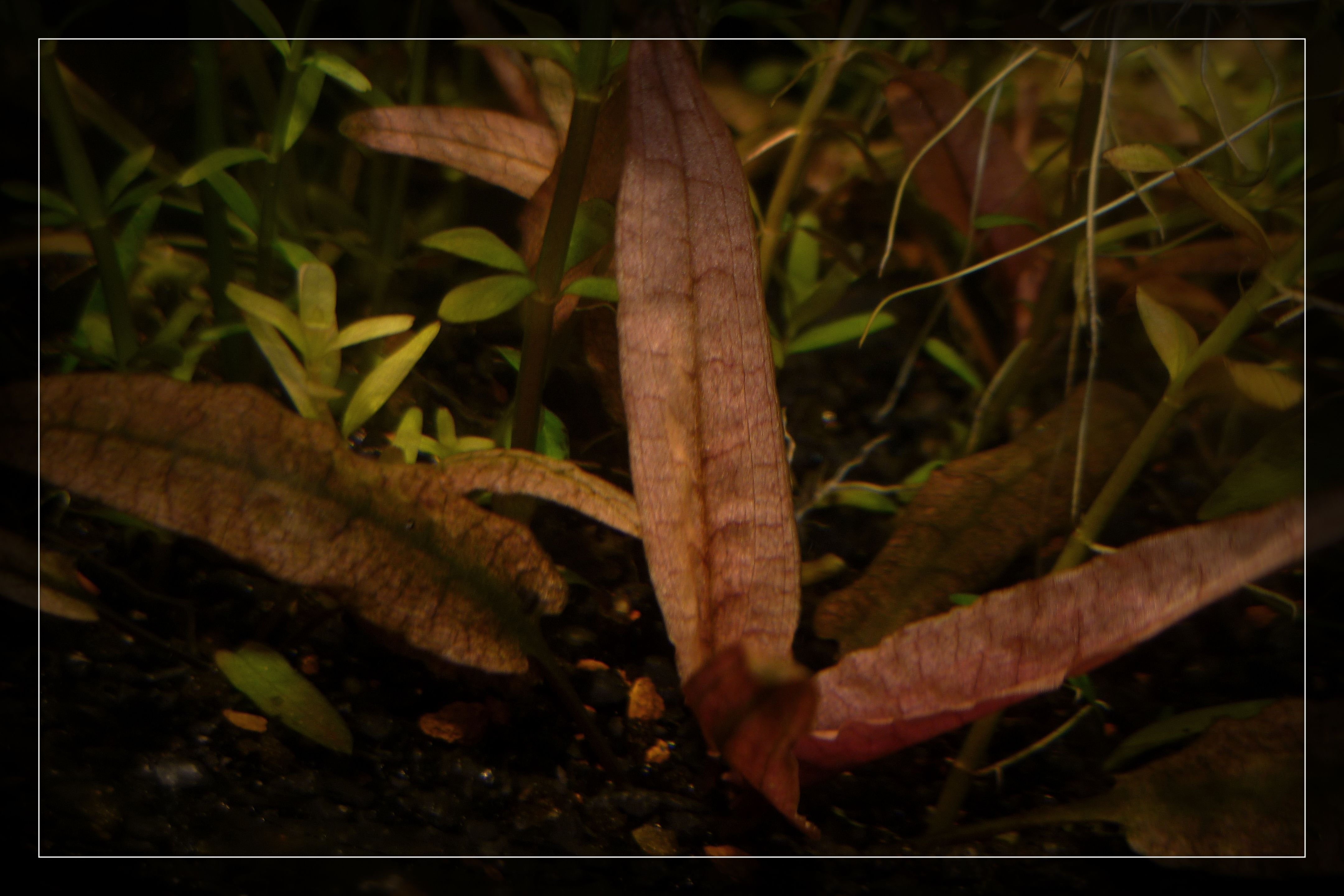 Cryptocoryne flamingo.jpg