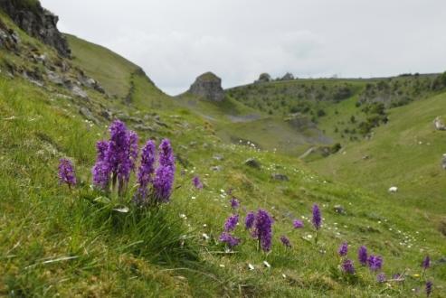 Early-purple-orchids-in-Cressbrook-Dale.jpg