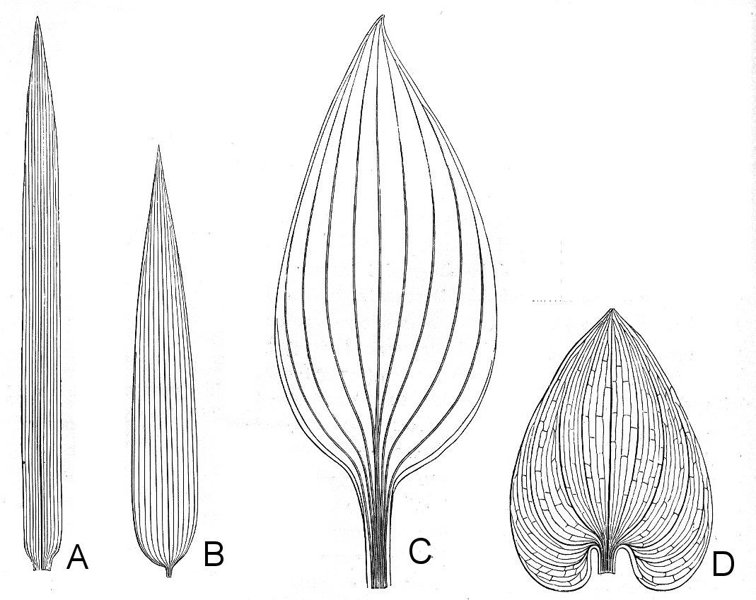 Kerner+&+Oliver+Fig+150+Monocot+leaves+simple.jpg