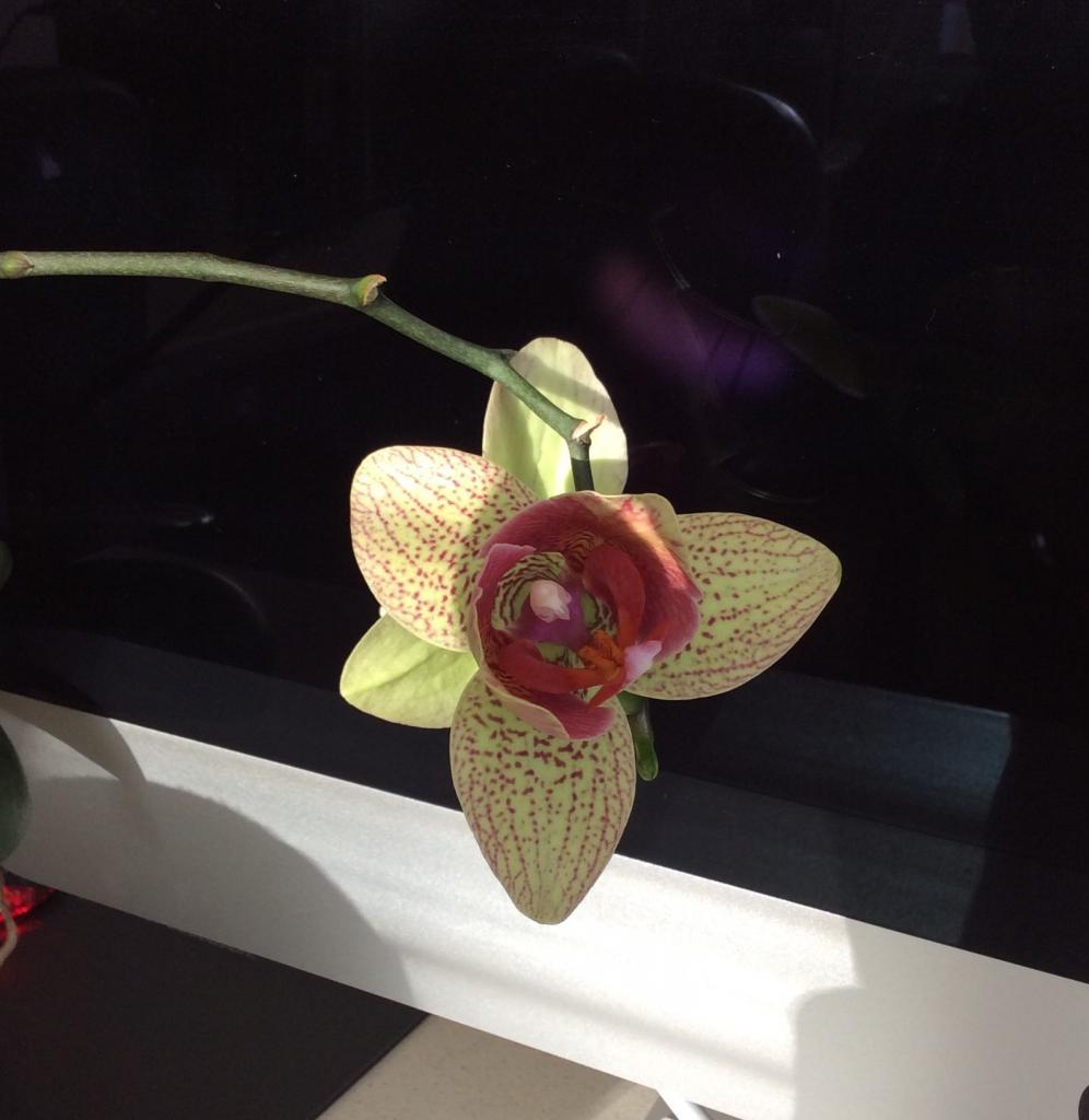 phalaenopsis_flower_zpsfe4450b4-jpg.jpg