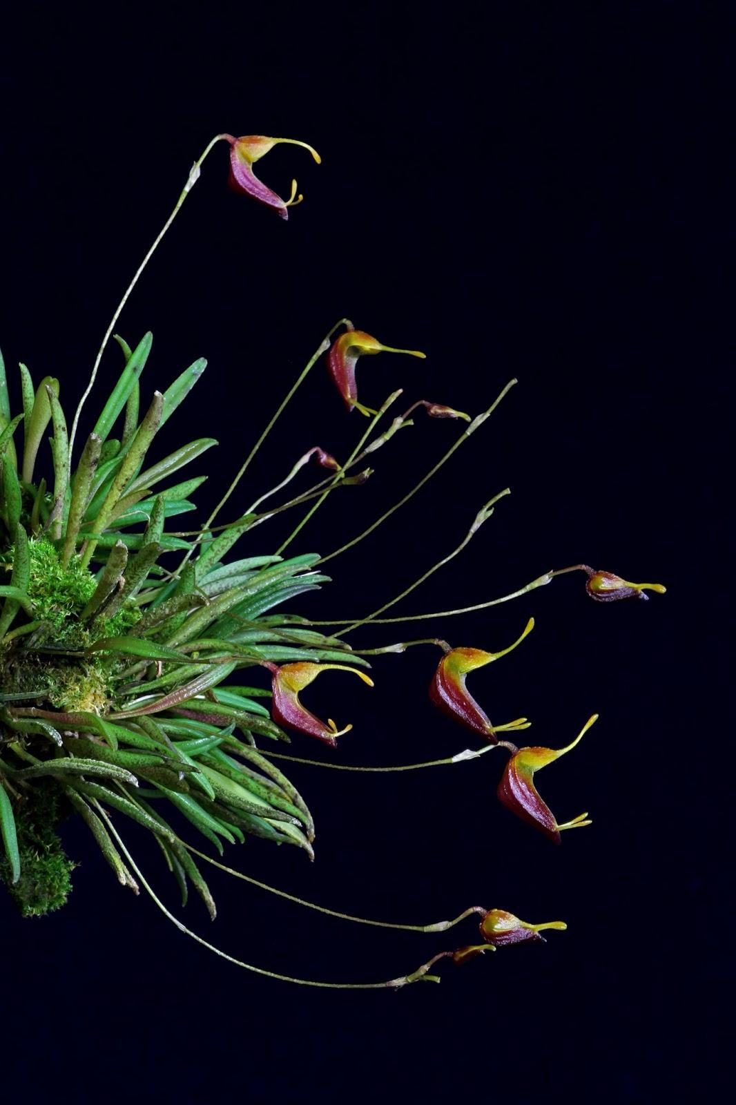 Trisetella hirtzii (8).JPG